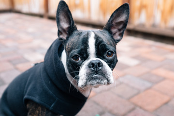 Bruce the Boston Terrier/Pug kicking it in a hip hoodie.