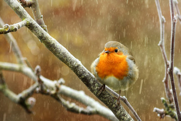 Red robin in a tree during snowfall