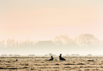 Two silhouetted hares in a pasture at sunrise