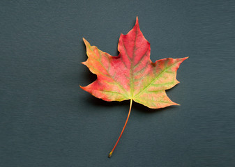 A bright colorful autumn maple leaf lies on a black background. Autumn