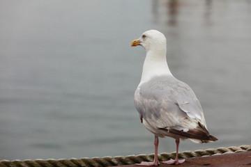Closeup of seagull bird standing next to water