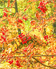 Rowan branch with autumn leaves and berries in backlight
