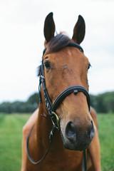 Headshot of Beautiful Chestnut Horse