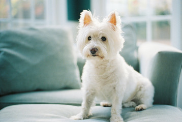 Cute small white dog sitting on a chair