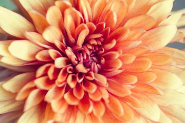 Macro of center of peach mum flower