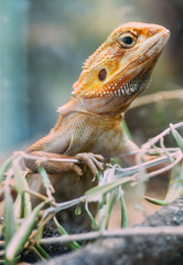 Orange lizard on a branch of olive
