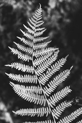 detail of a fern in black and white