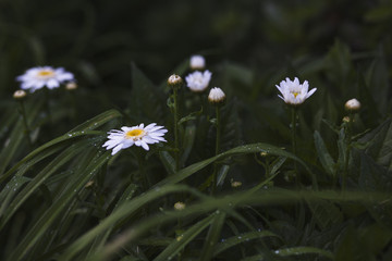 White daisies wet with rain.