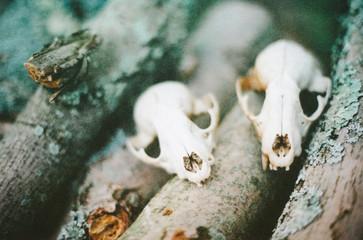 Raccoon Skulls on the Woodpile.