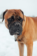 Adult bull mastiff in the snow