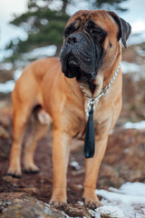 Portrait of adult bull mastiff