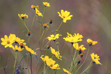 Tickseed Sunflower, a native wildflower, blooms in Necedah National Wildlife Refuge in Wisconsin