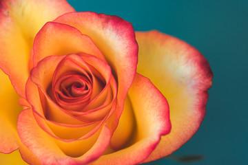 Orange Rose On Teal Background