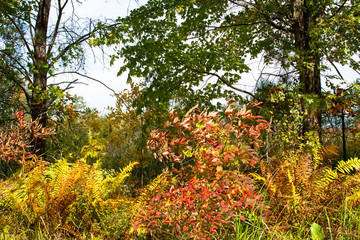 Fall colors of sumac and ferns in Necedah National Wildlife Refuge in Wisconsin