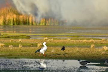 Incencio en el lago Junín y aves afectadas