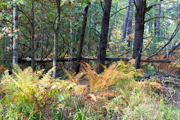 Autumn color in ferns at Necedah National Wildlife Refuge