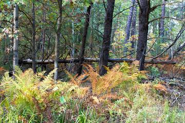Autumn color in ferns at Necedah National Wildlife Refuge
