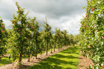 Halton Hills Apple orchard