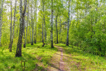 Birch grove on a spring sunny day.