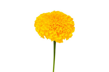 Wall Mural - yellow marigold
