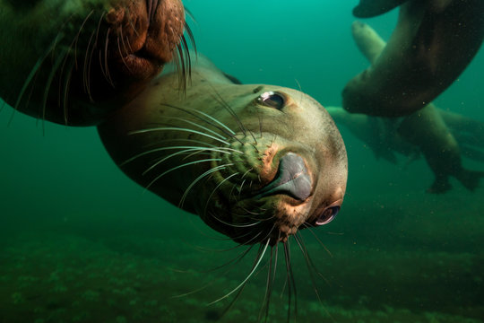 A close up picture of a cute Sea Lion swimming underwater. Picture taken in Pacific Ocean near Honby Island, British Columbia, Canada.