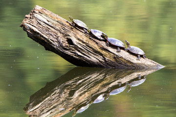 Four Painted Turtles on a log, with autumn colors reflected in the water, on the banks of the Mississippi River at Gordon's Landing in Wisconsin