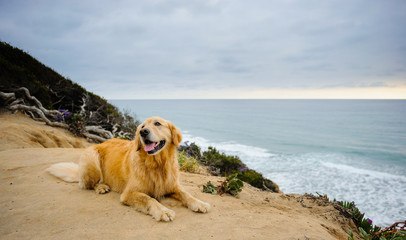 Golden Retriever dog lying on cliff overlooking ocean