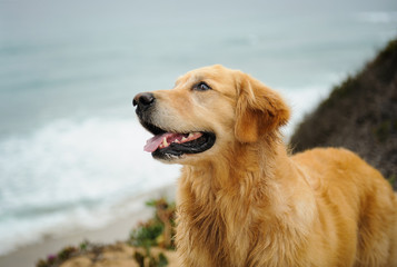 Golden Retriever dog portrait against water