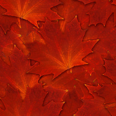 seamless maple leaf  scarlet red autumn