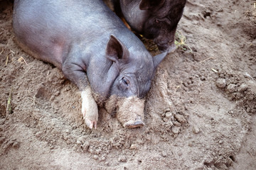 A little black pig is lying on the ground in a pigsty