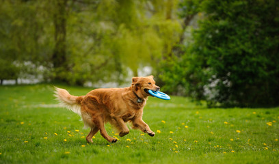 Golden Retriever dog running in field with blue toy