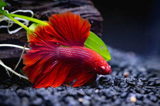 Red Siamese fighting fish in a fish tank