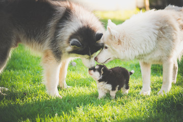 family of siberian husky dog playing on green grass