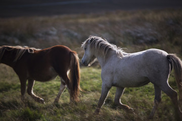 prancing white and brown pony