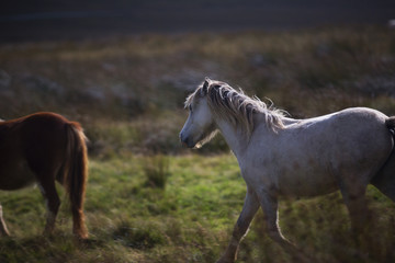 prancing white pony in the fields 1