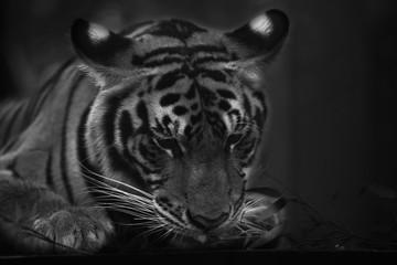 tiger cute