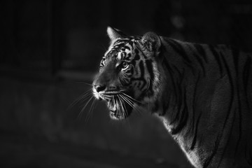 tiger intimate stare