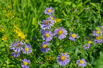 Flowers of the Alpine Aster (lat. Aster alpinus) in the garden