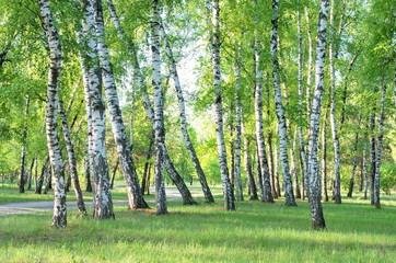birch grove, forest trail, summer, green foliage