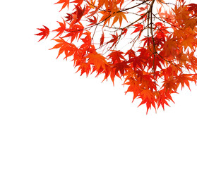 Branches with  colorful autumn leaves  isolated on white background.  Selective focus. Acer palmatum (Japanese maple)