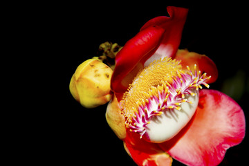 Cannonball Tree flowers (Couroupita guianensis) Sal flower on background