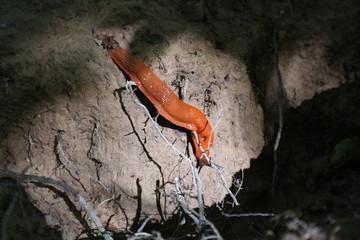 Rote Wegschnecke