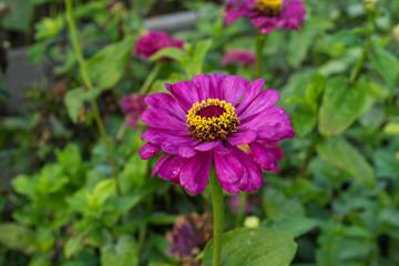 purple flower in garden blooming close up flower bud urban gardening
