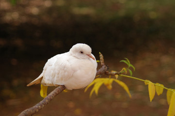 little white dove on a tree branch against lens blurred dark background with shallow depth of field