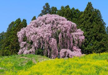 合戦場のしだれ桜(二本松市)