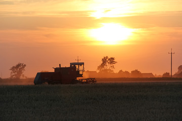 Fototapeta Old combine harvester working on a wheat crop at summer evening