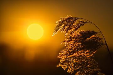 Тростник в лучах заката