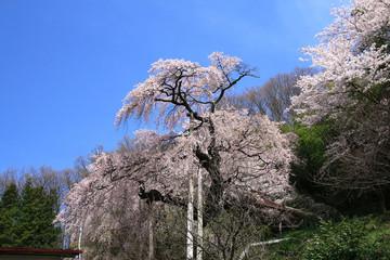 蓮華寺のシダレザクラ(二本松市)