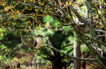 A Kookaburra at Mount Tomah Botanic Garden, Blue Mountains, Australia