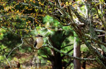 A Kookaburra at Mount Tomah Botanic Garden, Blue Mountains, Australia
